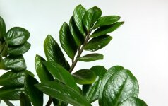 Kaip geriausia auginti pinigų medį?