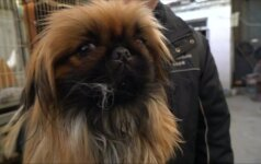 Veisėjai susirūpinę, kad Kinijoje mažėja kadaise prabangiais laikytų Pekino veislės šunų
