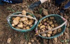 Lietuviškos ankstyvosios bulvės – už įspūdingą kainą