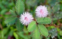 AUGINK. Emocingoji flora: gėlė, kuri apsimeta mirusi, ir susigėstantis augalas (video)