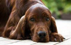 Nepersistenkite duodami šuniui kalcio, nes tai gali baigtis labai liūdnai