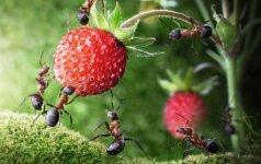 12 veiksmingų būdų, kaip kovoti su skruzdėlėmis