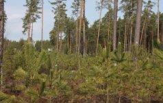 Miškų savininkai atsodins 1000 hektarų miško