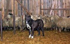 Kol ministras skaičiuoja vilkus, ūkininkai nuo jų ginasi patys