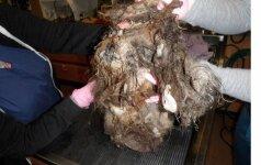 Ar bent įsivaizduojate, koks grožis slėpėsi po šiais susivėlusiais plaukais