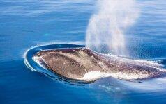 Niekad nepagalvotum: banginių išmatos gali sunaikinti arba išgelbėti pasaulį (II dalis)
