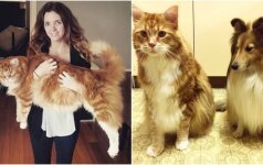 Šis katinas tikras milžinas: tituluojamas ilgiausiu pasaulyje