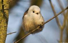 Kokie paukščiai lanko lesyklas? (I)