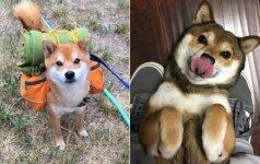 Tikri gražuoliai: pasižiūrėkite, kokie mieli šiba inu veislės šunys