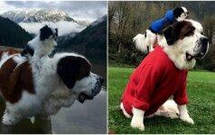 Internautus žavi dviejų šunų draugystė: senbernaras tapo mažo šuns nešykle