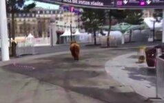 Žemės ūkio parodos Paryžiuje prieigose organizatoriai vaikėsi karvę