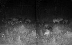 Dzūkijoje nufilmuota gausi vilkų šeimyna