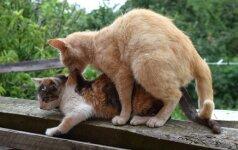 Kas vyksta kačių morčiaus metu