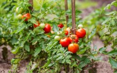 Kada ir kaip pomidorus persodinti į nuolatinę augimo vietą?