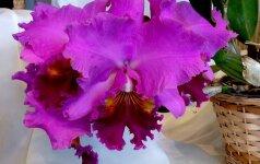 Kaip reikia laistyti orchidėjas?