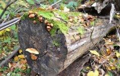 Negyvas medis - taip pat didelė vertybė kaip ir žaliuojantis, nes jis tampa prieglobsčiu įvairiems smulkiems gyvūnėliams, augalams bei grybams.
