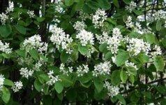 Apgaulingas grožis: šiuos augalus reikia naikinti