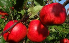 Vaismedžių sodinimo metas: kiek ir kokių reikia šeimai