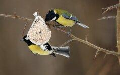 Vilniečiai savaitgalį mokysis padėti paukščiams žiemą