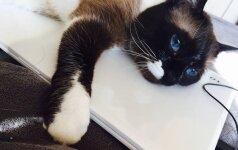 Pasaulį sužavėjusios žydraakės katės konkurentas auga lietuvės namuose
