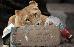 Rusijoje gatve ėjusiam paaugliui įkando liūtė