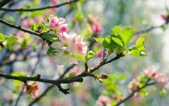 Laukiantiems tikrojo pavasario – atsakymas, kada sužaliuos gamta