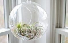 Oro augalai: be šaknų, bet dieviško grožio