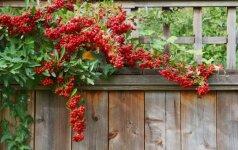 Kokios sodo konstrukcijos gali tapti atramomis augalams