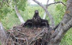 Sartų ežero jūrinis erelis žmoną rado Latvijoje