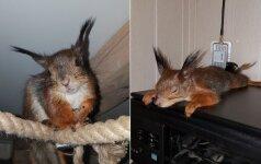 Uteniškės augintine tapo voverė: prašosi masažų, pomidorų ir žaidimų