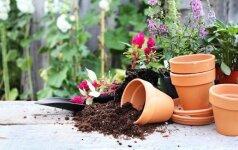 Kaip atgaivinti sudžiūvusį kambarinį augalą