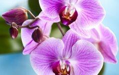 Tai, ko dar nežinojote apie orchidėjų laistymą