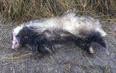 Barsukų medžioklė atsieis 10 tūkst. litų