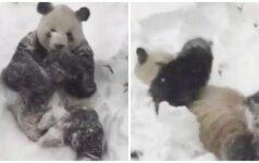 Plinta po pasaulį: kol JAV vaduojasi iš sniego, mažoji panda džiaugiasi sniegu