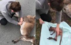 Nufilmavo jautrią akimirką: negyvos kengūros sterblėje rado besispardantį kengūriuką