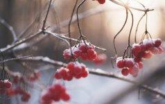 Kokius darbus reikia nudirbti sausio mėnesį darže bei sode?