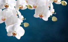 Falenopsių priežiūra: nuo A iki Ž
