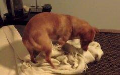 Niekas netikėjo, ką šis šuo daro prieš miegą, todėl šeimininkas viską nufilmavo