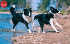 Borderkoliai – šunys, kuriems reikalinga improvizacija