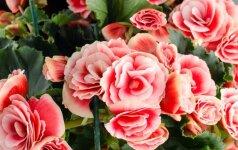 Pirktinė žydinti gėlė: kaip auginti?