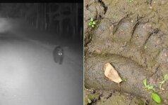 Pasieniečiai nufilmavo, kaip miške sėlina meška