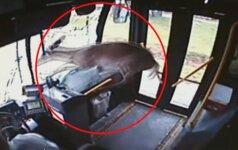 Vaizdo kamera užfiksavo, kaip pro autobuso priekinį langą įšoko elnias