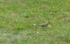 Pauliui Skučiui per atostogas pavyko užfiksuoti retą paukštį
