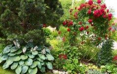 Ką daryti, kad rožynas džiugintų akis