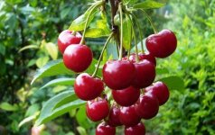 Vyšnių auginimo atmintinė: kokias veisles pasirinkti ir kaip apginti derlių nuo paukščių