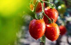 Eksperto atsakymai, kaip rūpintis neseniai persodintais pomidorais