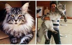 Meino meškėnai, šalia kurių jūsų katė atrodys labai mažutė