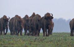 Ūkininkai pasiekė savo: netrukus šie gyvūnai atsidurs aptvare