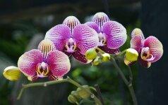 Orchidėjų laistymo paslaptys: tikslaus grafiko negali būti