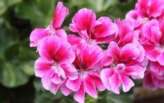 Kokios kambarinės gėlės gydo ir valo orą